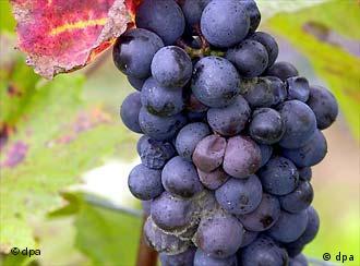 Wein als Klimaindikator: Wo Trauben gedeihen, ist es warm und trocken