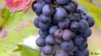 Weinlese in Franken: Blaue Weintrauben