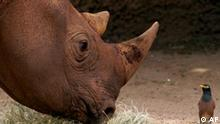 Kwanzaa, a rare 11-year-old, 1,300 kilograms (2,865 pounds) Black Rhinoceros watches an Indian Miner bird as he munches on grass at Taronga Zoo in Sydney, Australia, Tuesday, Dec. 23, 2003. Originally from Milwaukee Zoo in the U.S., Kwanzaa has recently reached sexual maturity and is part of the zoo's breeding program. Such programs are vital to the survival of the Black Rhinoceros as numbers in the wild has declined drastically from 65,000 in 1970 to less than 3,200 today due to poaching and habitat destruction. (AP Photo/Dan Peled)