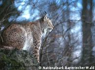 Рысь в одном из немецких биосферных резерватов