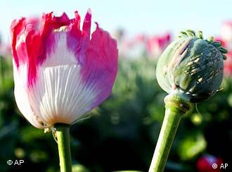 Afghanistan is the world's leading producer of opium