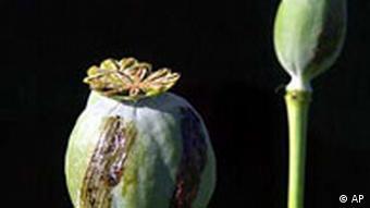 Mohn mit Opium