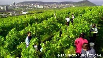 Grape harvest on a vineyard