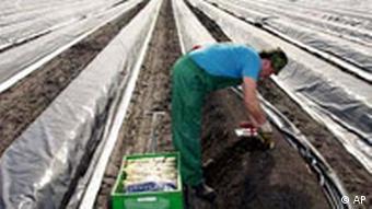 Erntehelfer Spargel Ernte in Beelitz