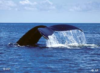 El ser humano sigue siendo una amenaza para las ballenas.
