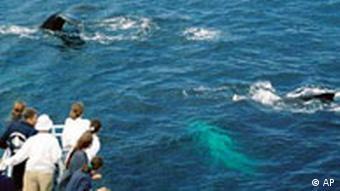 Wal-Tourismus: Boote und Wale, Quelle: AP