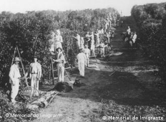 Imigrantes alemães trabalham na colheita do café em Ribeirão Preto (1902). Foto: Memorial do Imigrante