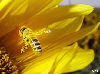 A bee covered in pollen lands in a sunflower