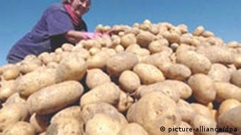 Woman at a potato harvest