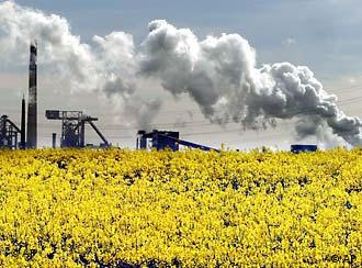 Rapeseed can be a useful plant, if it's not planted in environmentally sensitive areas