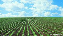 Feld mit Zuckerrüben