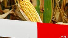 Mit einem Absperrband ist am 29.09.2004 ein gentechnisch verändertes Maisfeld nahe Ramin im Landkreis Uecker-Randow gekennzeichnet (Archivfoto). Das Landwirtschaftsministerium Mecklenburg-Vorpommerns und der Verein zur Förderung Innovativer und Nachhaltiger Agrobiotechnologie (FINAB e.V.) hatten zu einer Informationsveranstaltung zum Erprobungsanbau von gentechnisch verändertem Mais eingeladen. Im Bundesland wird an zwei Standorten unter wissenschaftlicher Leitung des FINAB e.V. und unter der Schirmherrschaft des Landwirtschaftsministeriums Erprobungsanbau mit gentechnisch verändertem Mais betrieben. Es gilt als sicher, dass die Regelungen des Gentechnik-Gesetzes mit rot-grüner Kanzlermehrheit vom Bundestag am Freitag (26.11.2004) verabschiedet werden. Foto: Patrick Pleul dpa***Zu Hille, Klare Kennzeichnung für Verbraucher? Bundesrat entscheidet über Gentechnik-Gesetz***