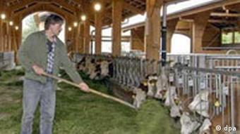 An organic dairy farmer feeds his cows grass