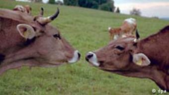 Landwirtschaft, glückliche Kühe, artgemäße Tierzucht