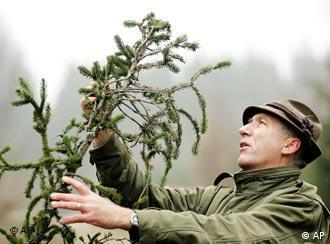 Forest ranger Josef Woehrle checks a fir tree's branch in the City Forest in Neuried, near Munich, on Wednesday, Dec. 8, 2004.