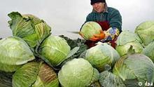 Weißkohlernte im Spreewald Klein-Radden (Brandenburg): Der polnische Saisonarbeiter Jery Wrone vom Gemüseanbaubetrieb Spreewald in Klein-Radden schneidet am 06.11.2003 auf einem Feld Weißkohlköpfe. In dem kleinen südbrandenburgischen Unternehmen werden derzeit auf rund zehn Hektar etwa 800 Tonnen Weißkohl geerntet. Allein in der Firma Rabe werden jährlich rund 1.000 Tonnen Weißkohl zu Sauerkraut vergoren. Die kleingeschnittenen Weißkohlköpfe kommen in riesige Behälter und werden unter Zugabe von Salz festgetreten. Nach sechs bis acht Wochen kann das fertige Sauerkraut in Gläser abgefüllt werden.(COT44-061103)