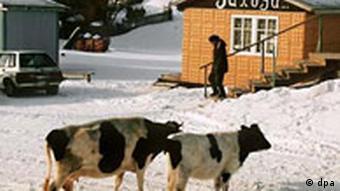 Kurilen Ortschaft Krabosawodskje auf Shikotan Kühe