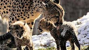Gepard-Babys