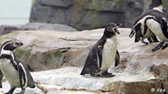 Humboldtpinguine im Zoo am Meer in Bremerhaven