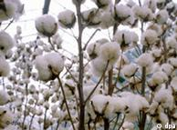 Bt cotton is now the most common in many countries