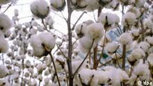 Baumwollpflanzen