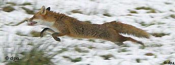 Die letzten Fuchsjagden in England
