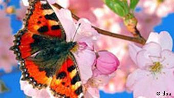 butterfly on a fuschia plant