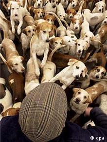 Bildergalerie Füchse: Foxhound-Meute
