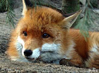 German Fox