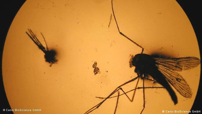 A Anopheles malaria mosquito under a microscope lens.