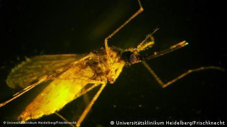 Malariaerreger in einer Anopheles-Mücke; Copyright: Universitätsklinikum Heidelberg/Frischknecht