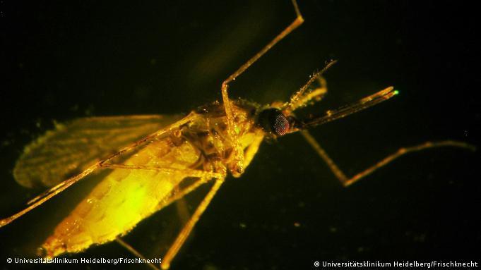 Flash-Galerie Malariaerreger in einer Anopheles-Mücke NEU