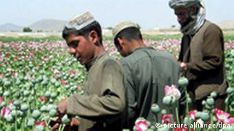Afghan poppy farmers EPA/HUMAYOUN SHIAB (zu dpa 1312 vom 23.06.2011) +++(c) dpa - Bildfunk+++