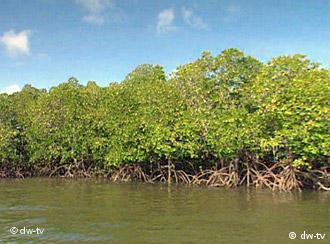 Across the world, mangroves are at threat from climate change and rising water temperatures
