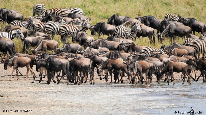 Zebras und Gnus an einer Wasserstelle