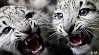 Ten-week old snow leopards Lanak, left, and Askai hiss to photographers during their first appearance in the Berlin Zoo in Germany, Friday, July 6, 2007. The brothers where born ten weeks ago. (AP Photo/Markus Schreiber)