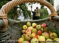 Picking apples in Mecklenburg