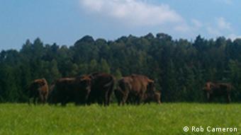 Bison herd in Rasko enclosure