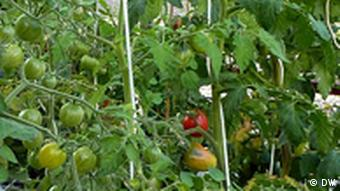 Green tomatoes in the Prinzessinengarten, Kreuzberg