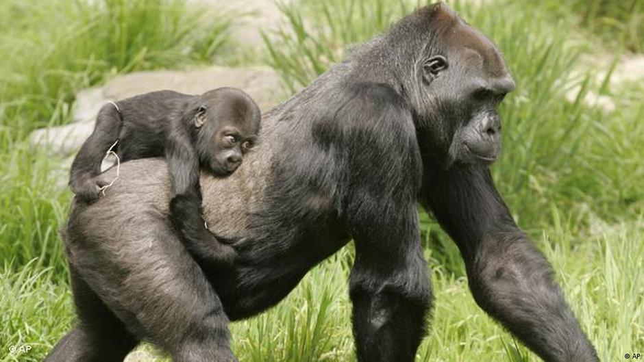 Rasierter Affe