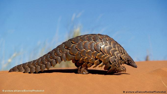 A pangolin in Africa - photo credit Picture Alliance.