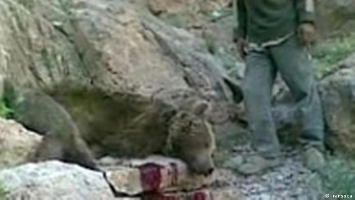 ماده خرسی که در ارتفاعات سمیرم کشته شد