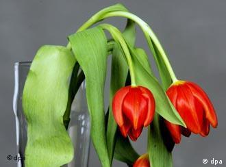 Tulpen mit hängenden Blüten (Foto: dpa)