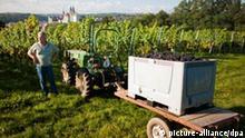 Winzer lesen am Mittwoch (14.09.2011) auf einem Weinberg des Weingutes Schloss Proschwitz bei Meißen Frühburgunder-Trauben. Insgesamt 5 Hektar dieser Sorte baut das Weingut an. Foto: Oliver Killig dpa/lsn