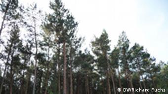 ¿Desaparecerán los bosques de pinos? En Brandenburgo ya se trabaja para que eso no suceda.
