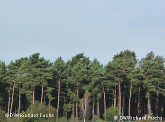 Los monocultivos de pinos son propensos a la splagas.
