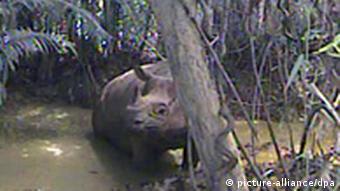 A Javan rhino in a river (Photo: WWF +++(c) dpa - Report+++)