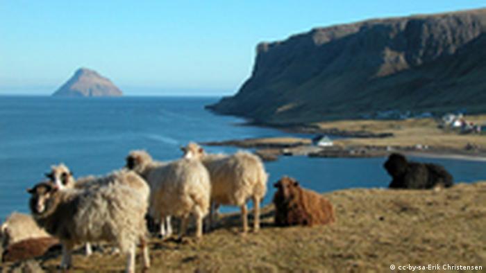 Des moutons islandais.