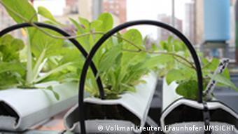 Nahaufnahme eines hydroponischen Pflanzungssystems, in dem Gemüse gezüchtet wird. (Foto: Volkmar Kreuter, Fraunhofer UMSICHT)