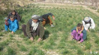 Bauern in Masar-i-Sharif bei der Safran-Aussaat